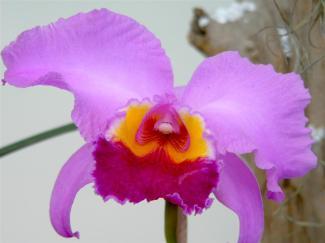 Orquídea Colombian