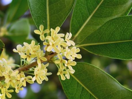 Flor de osmanthus