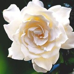 donde-vive-la-gardenia