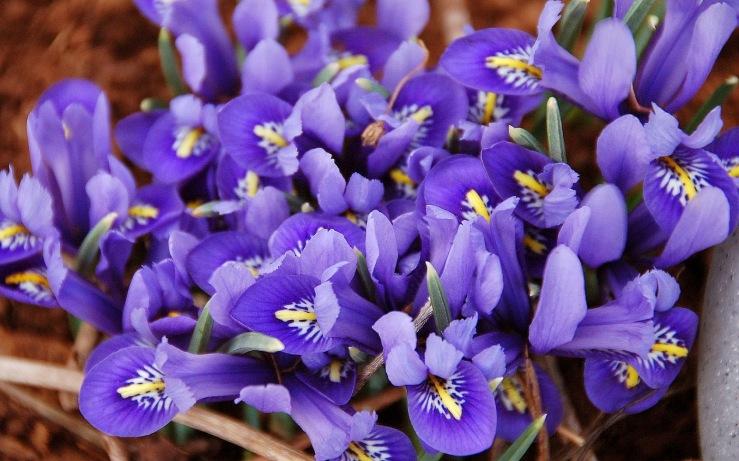 Violeta flor