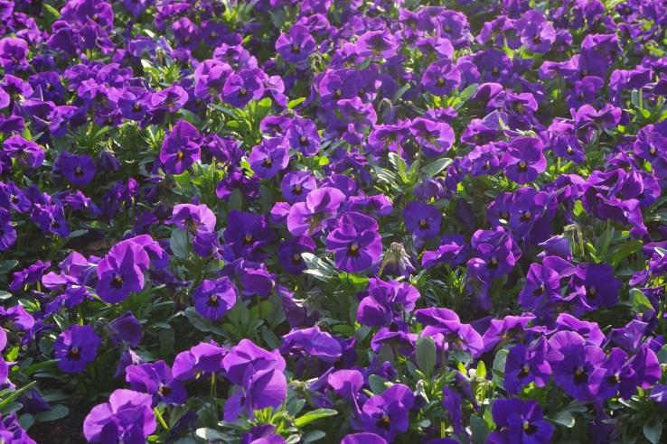 plant-flower-purple-wildflower-flowers-violet-ornamental-plants-viola-bellflower-pansy-bl-tenmeer-flowering-plant-violaceae-bellflower-family-aubretia-flower-plants-annual-plant-land-plant-violet-fami