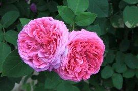 rosa-damascena-3-1020134880.jpg